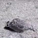 НКОК назвала причины гибели жаворонков на Кашагане